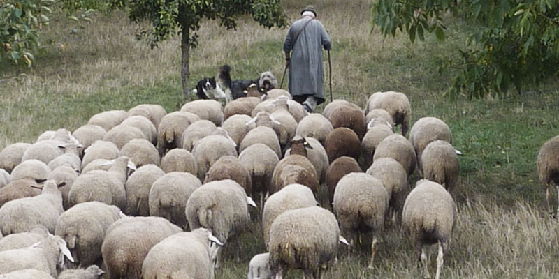Image Result For Shepherd And Lost